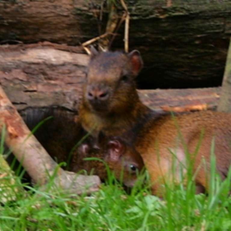 Nachwuchs bei Agutis und Aras - Aguti-Jungtier dunkelrotes Araküken - Seit einigen Tagen kann man unser Aguti-Jungtier im Südamerika-Gehege und einen jungen dunkelroten Ara bewundern.