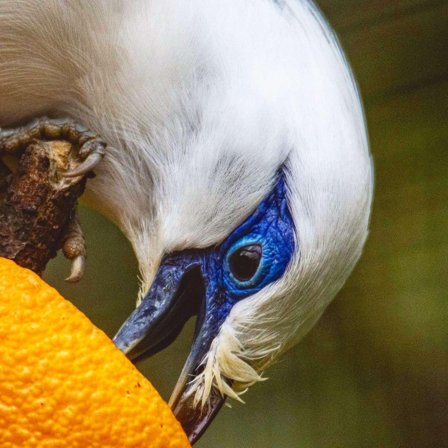 Europäische Erhaltungszucht für den globalen Artenschutz - Foto: H. Meierjohann - Balistare im Vogelpark Heiligenkirchen