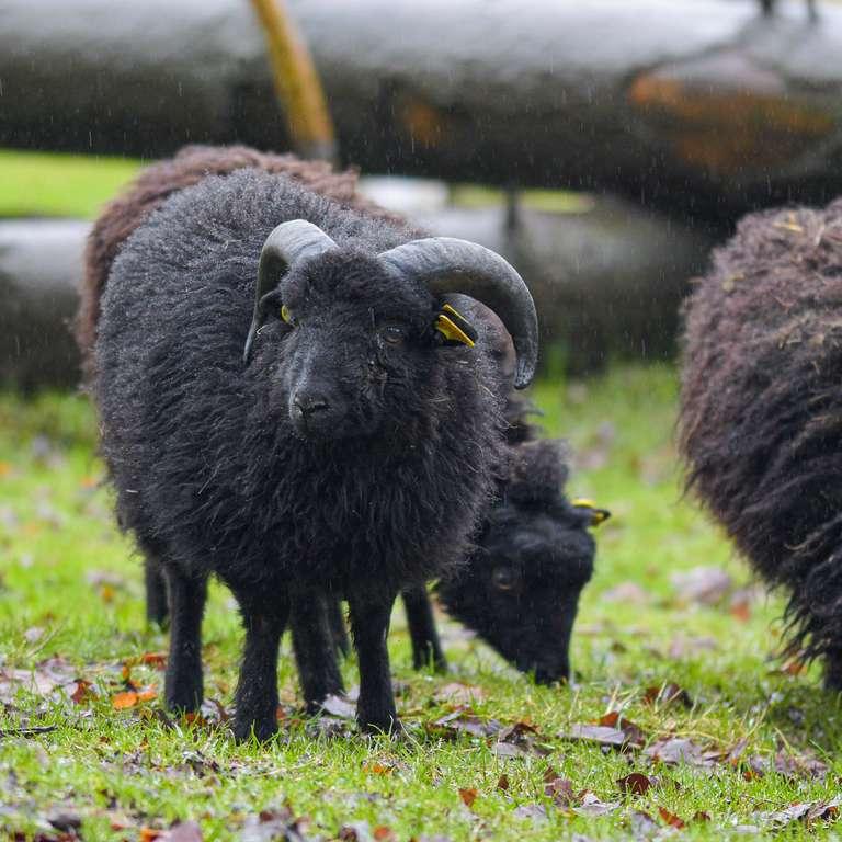 Mähhhhhhhhhhhhhhhhhh!!! - Ouesanntschafe - die kleinsten Schafe Europas - ziehen in den Vogelpark ein