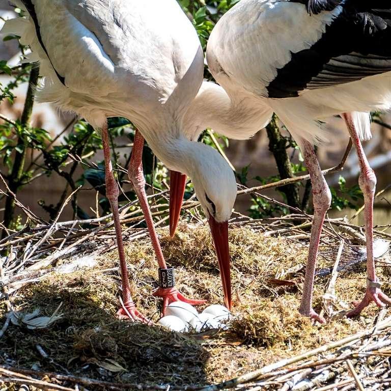 """Die ersten Storcheneier liegen im Nest - Liebevolle Eltern im """"Homeoffice"""""""