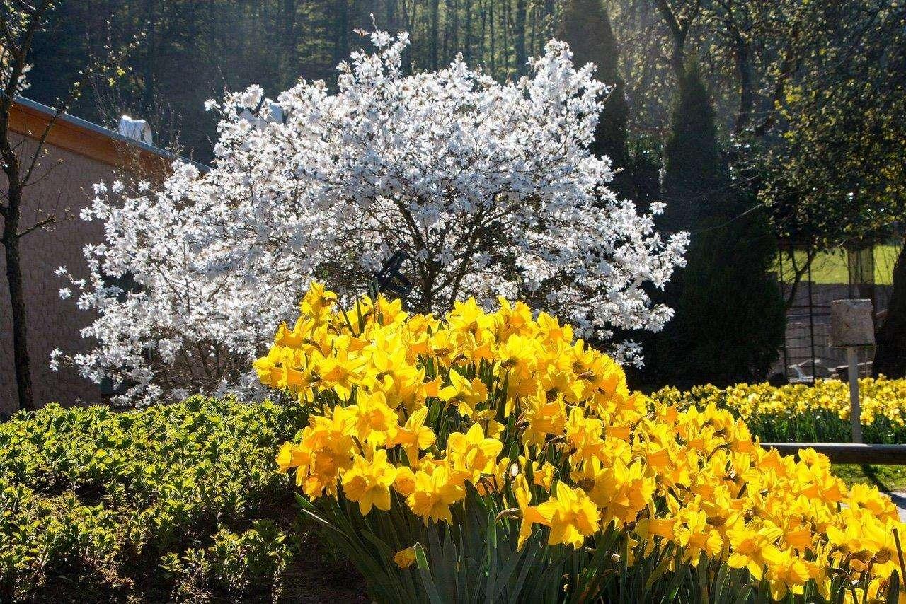 Frühlingszeit im Vogelpark - Foto: H. Meierjohann - Die Störche klappern, der Pfau schlägt sein Rad für die Damen und 20.000 Narzissen blühen in voller Pracht -  es ist Frühling im Vogelpark Heiligenkirchen.