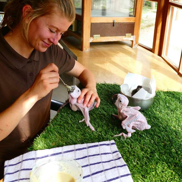 Kükengezwitscher im Spätsommer - Tierpflegerin Lenja Punger versorgt die Aras Foto: V. Ruf - Zwei Gelbbrustaras werden von den Tierpflegern im Vogelpark Heiligenkirchen mit der Hand aufgezogen