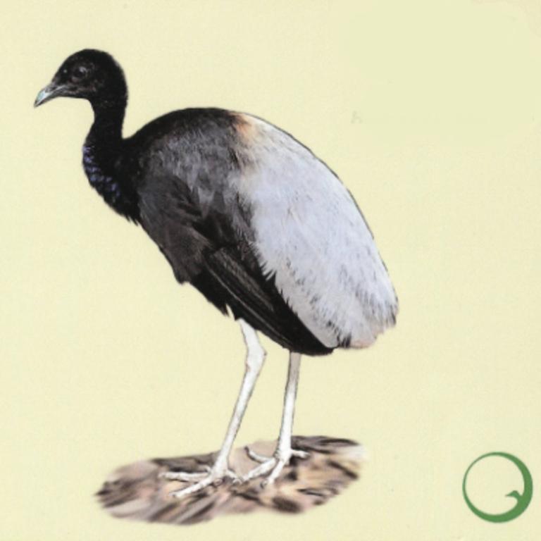 Unsere Neuen II: Graurücken-Trompetervögel - Der Graurücken Trompetervogel Foto: naturschild.de - Ein besonderer Musiker aus dem Ensemble des Regenwaldes.