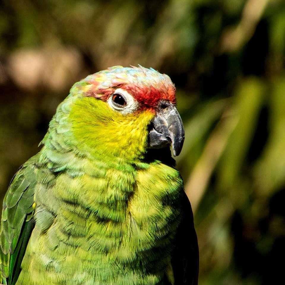 Eine Vogelpark-Story: #1 Susi  - Ecuadoramazonen (Amazona lilacina) leben, wie der Name vermuten lässt, in Ecuador im Nordwesten Südamerikas. Hier bevölkert die leider zunehmend kleiner werdende Population die tropischen Regenwälder. Im Freiland wurde die Ecuadoramazone somit als bedroht eingestuft.  - Eine Dame von sanfter Natur