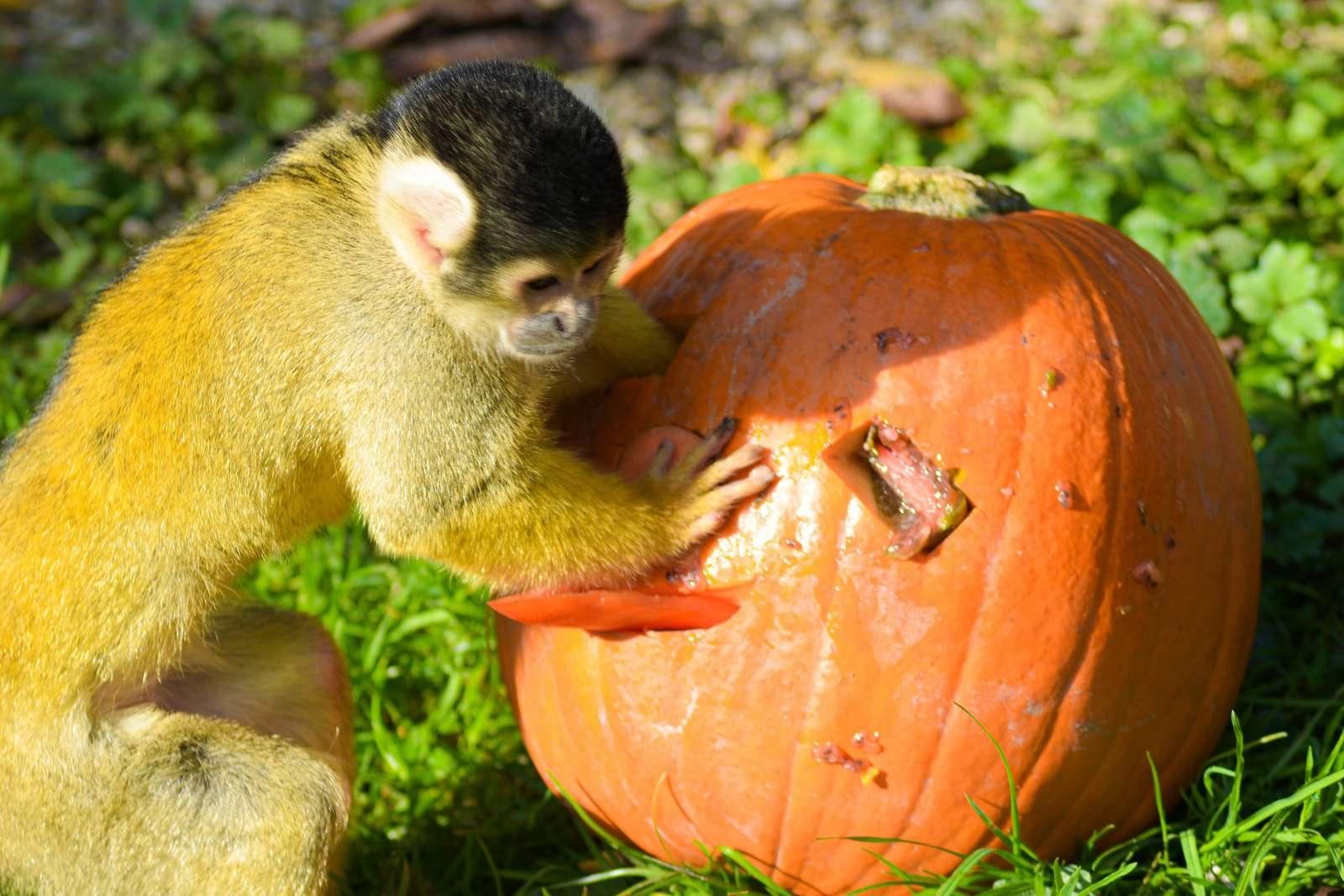 Tierpfleger Co-Produktion: Beschäftigung und Dokumentation  - Fotos: C. Kerber - Der goldene Herbst kehrt bei den Totenkopfaffen ein