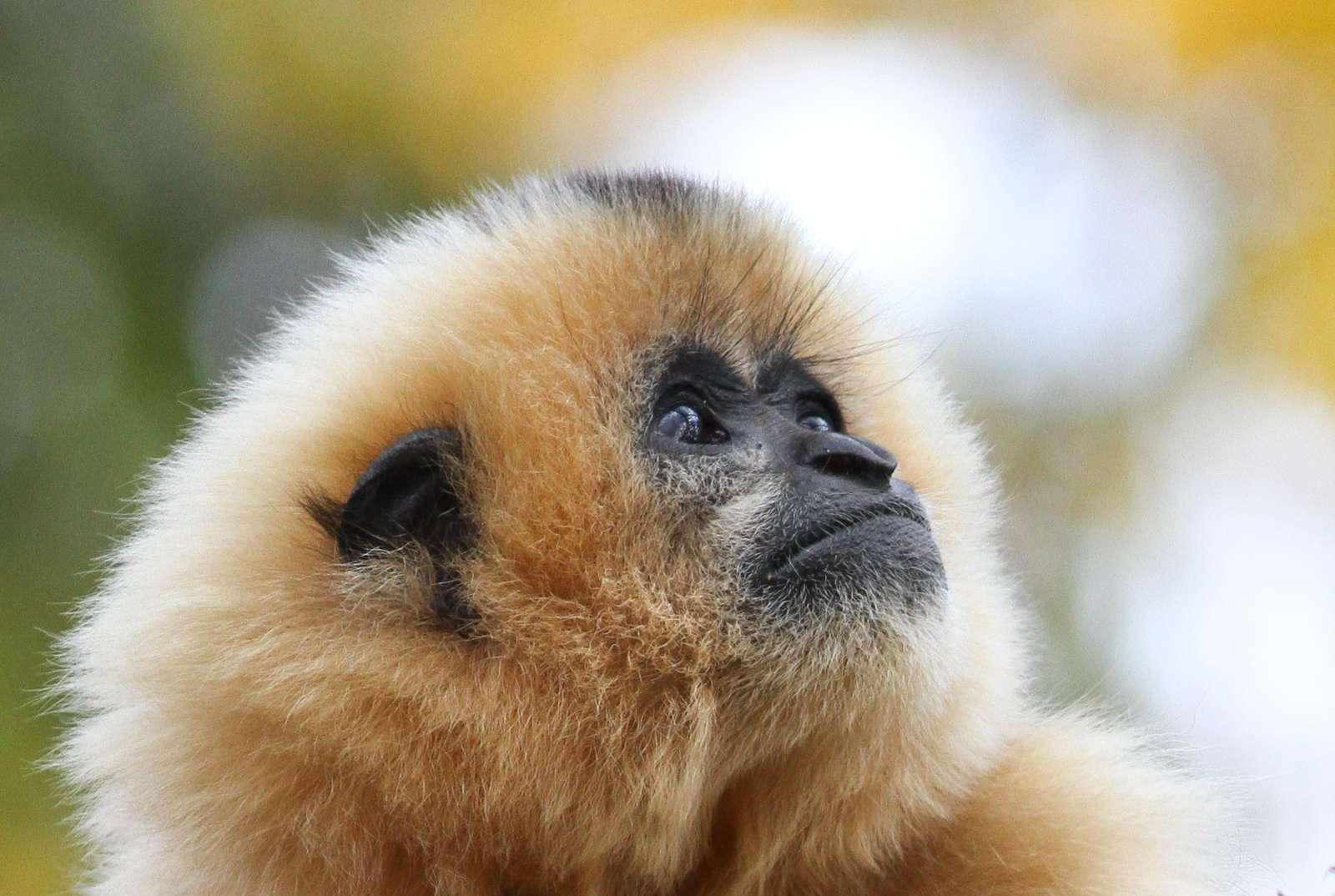 """Mütter werden getötet um Nachwuchs zu verkaufen   - Foto: Mark Dumont - Der Gibbon ist das """"Zootier des Jahres 2019"""""""
