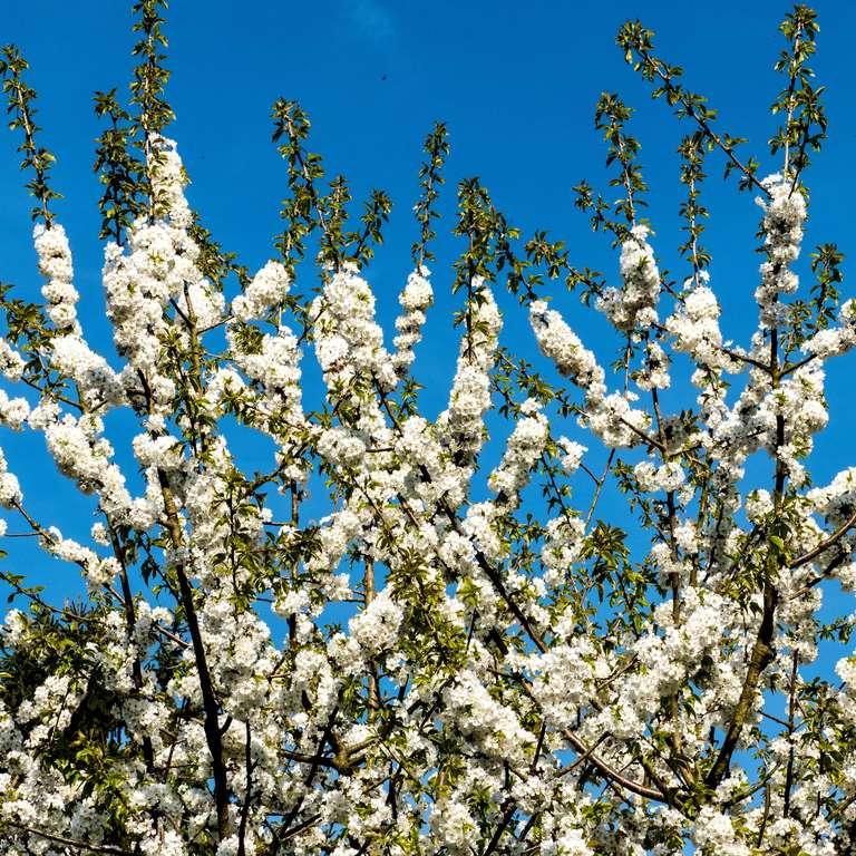 Atemberaubende Blütenpracht im Vogelpark Heiligenkirchen! - Über 20.000 Narzissen und etliche Obstbäume stehen in voller Blüte. Fotos: H. Meierjohann - Über 20.000 Narzissen und etliche Obstbäume stehen in voller Blüte.