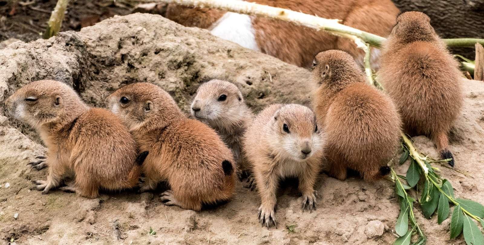 """Unsere Präriehund-Familie ist gewachsen  - Fotos: H. Meierjohann - Gleich mehrere Jungtiere sind """"ausgeflogen"""""""