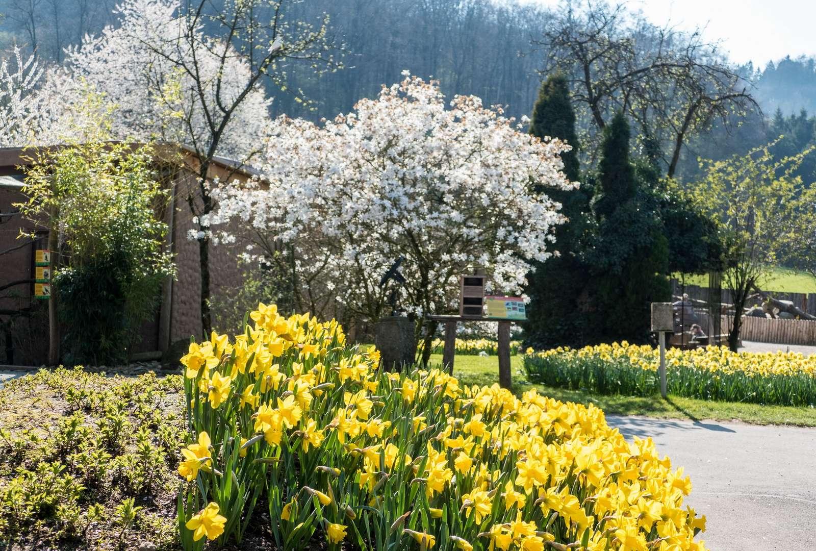 Mehr Frühling? Geht nicht! - Pünktlich zu den Osterferien stehen 20.000 Narzissen in voller Blüte