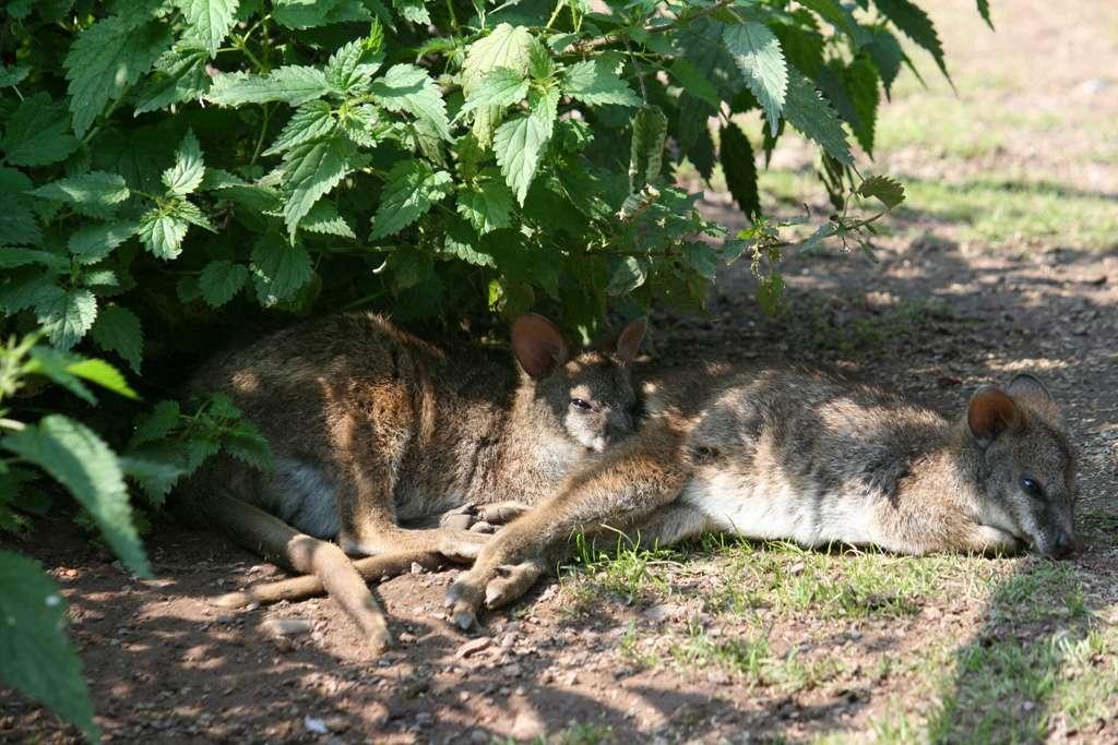 Zwei neue Parma-Wallabys! - Parma-Wallabys Parma-Wallabys Parma-Wallabys Parma-Wallabys - Schon wieder hat der Park neuen Zuwachs bekommen.