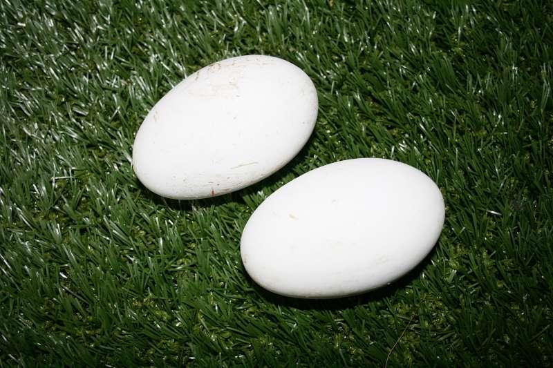 Das erste mal nach 42 Jahren - 2 Pelikaneier - Nach 42 Jahren hat das erste mal ein Pelikanweibchen im Vogelpark Heiligenkirchen zwei Eier gelegt.