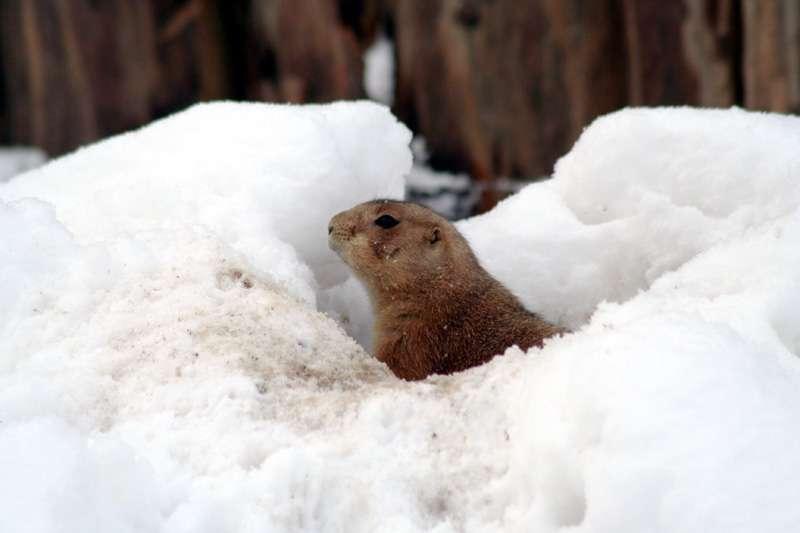 Winterschlaf? Langweilig! - Präriehund im Schnee Präriehund im Schnee - Wie ihre nächsten Verwandten, die Murmeltiere, sollten auch Präriehunde eigentlich ihren Winterschlaf halten.