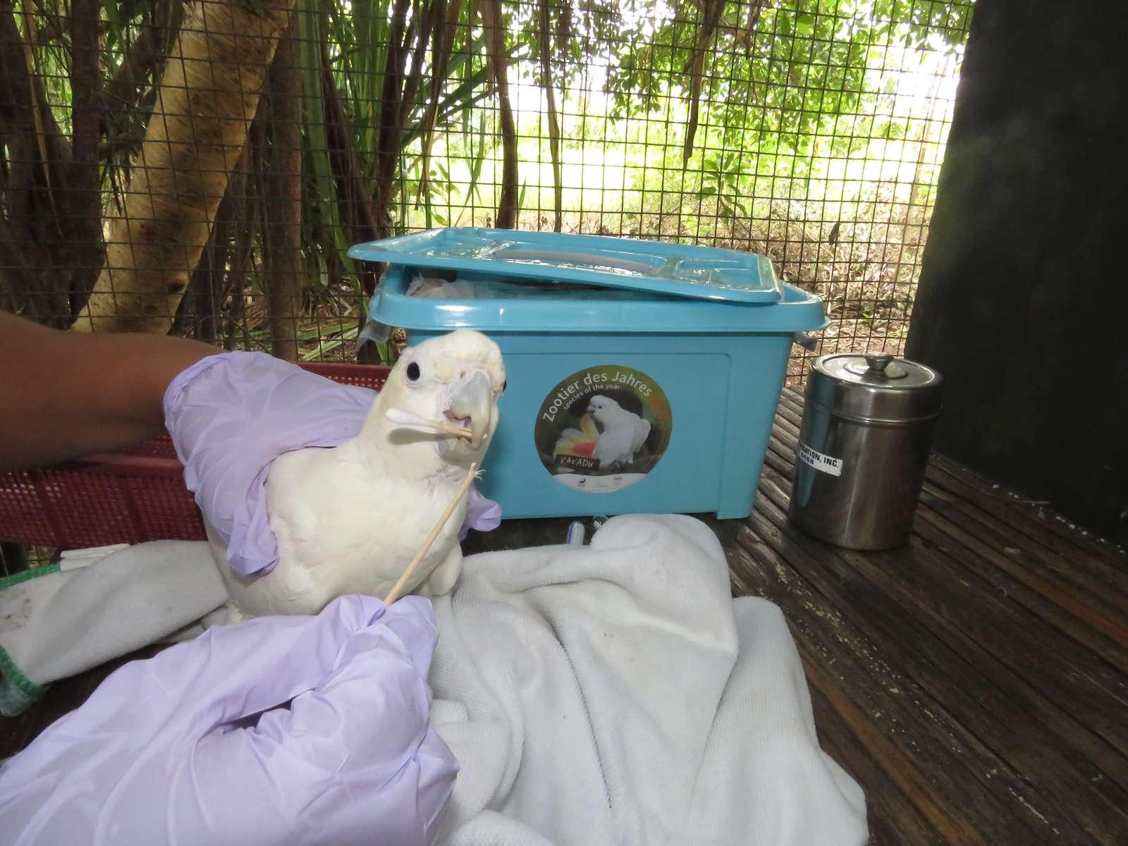 """Der Kakadu ist """"Zootier des Jahres 2017""""  - Rettung von Kakadu Jungvögeln in der Katala Foundation auf den Philippinen unterstützt mit Materialien durch die Aktion """"Zootier des Jahres 2017"""" Aufkleber Zootier des Jahres  - Der Vogelpark Heiligenkirchen unterstützt die Aktion, um auf die bedrohte Art aufmerksam zu machen!"""