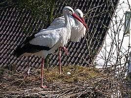 Im Vogelpark Heiligenkirchen - Störche auf Ihrem Nest, Das erste Ei 2007 - brütende Störche im Vogelpark Heiligenkirchen - Weißstorch / Ciconia ciconia - Das erste Storchenei