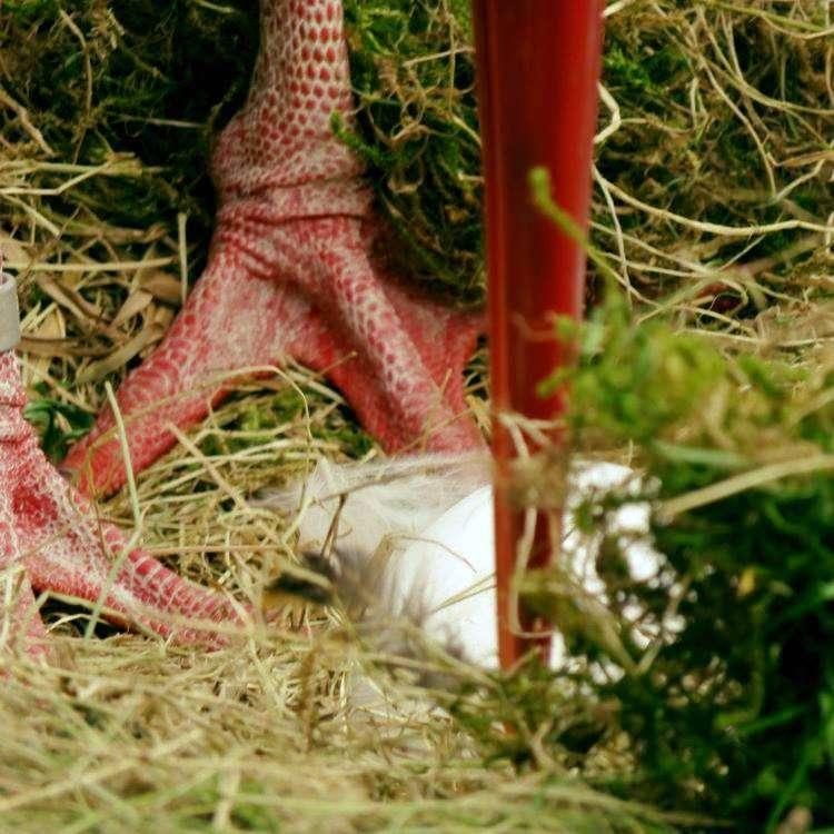 Frohe Ostern! - Foto: H. Meierjohann - Das erste Storchenei ist da