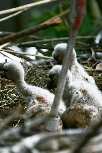 3 Störche geschlüpft !!! - Storchenküken - Nun ist es soweit. Alle Jungen des Storchenpaares sind geschlüpft, und die Jungen sind zusammen mit ihren Eltern im Freigehege zu sehen. Man erkennt deutliche Größenunterschiede zwischen den nicht gleichalten Jungen.