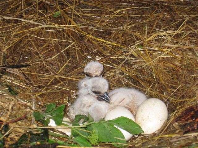 Störche geschlüpft! - Storchenküken im Nest - Nachdem die Weißstörche am 6. April das erste ihrer 5 Eier gelegt hatten, sind 37 Tage später die ersten beiden Küken geschlüpft.