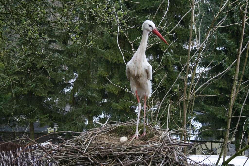 Die Störche brüten - Storchennest im Vogelpark brütende Störche - Nun hat der Frühling im Vogelpark endgültig Einzug gehalten. Die Störche haben schon seit 2 Wochen kräftig gebalzt und jede Menge Nistmaterial auf ihr hohes Nest eingebracht, nun ist es endlich da.