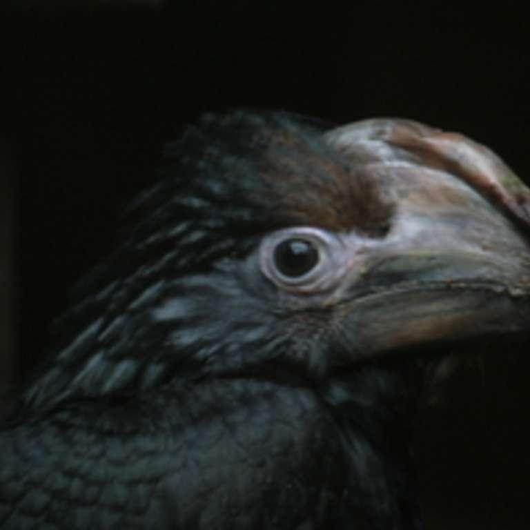Endspurt - Trompeterhornvogel Präriehund - Nach über 70 Tagen hat das Trompeterhornvogelweibchen zusammen mit dem Nachwuchs (zwei Männchen) endlich die Bruthöhle verlassen.