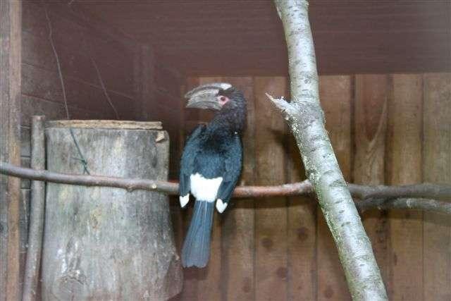 Eingemauert - Trompeterhornvogel vor Bruthöhle Trompeterhornvogel in Bruthöhle eingemauert - Die Trompeterhornvögel aus Afrika zeigen ein seltsames Nestbauverhalten: Das Männchen mauert das Weibchen in einer Baumhöhle ein.