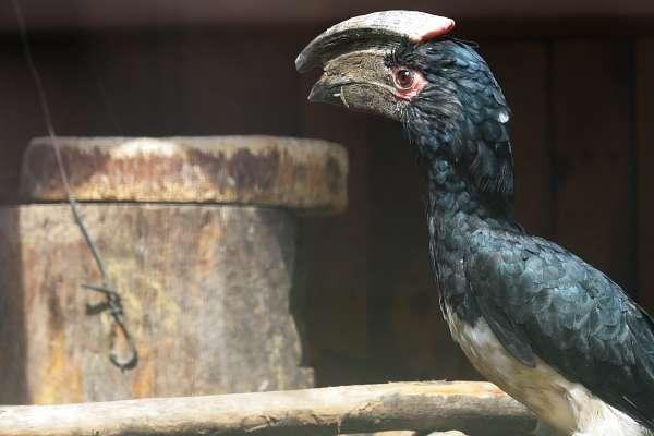 Bei uns piepst's! - Trompeterhornvogel vor Bruthöhle - Bei unseren Trompeterhornvögeln und Deckens Tokos piepst es aus den Bruthöhlen, ein sicheres Zeichen für Nachwuchs!