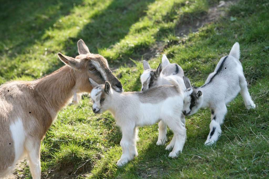 Drei auf einen Streich - Drillinge bei unseren Ziegen Ziglein - Wir suchen Namen für die Drillinge!