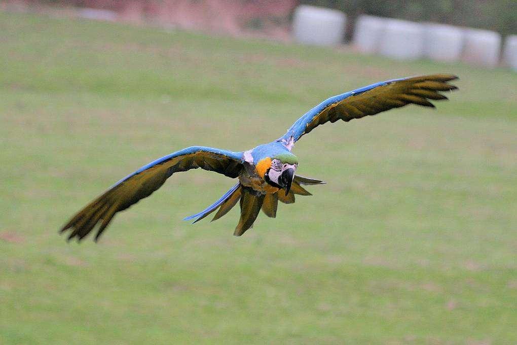 """Mit der Lizenz zum Freiflug - Gelbbrustara im Freiflug Gelbbrustara im Freiflug Gelbbrustara im Freiflug - Wenn ihn die Lust zum Fliegen überkommt, nimmt sich der Gelbbrustara """"Caesar"""" einfach eine Auszeit. Der farbenprächtige Vogel mit einer Flügelspannweite von gut einem Meter schwingt sich einfach in die Lüfte, um seine Freiheit sowie den Ausblick auf den Vogelpark und das nahe gelegene Hermannsdenkmal von oben zu genießen."""