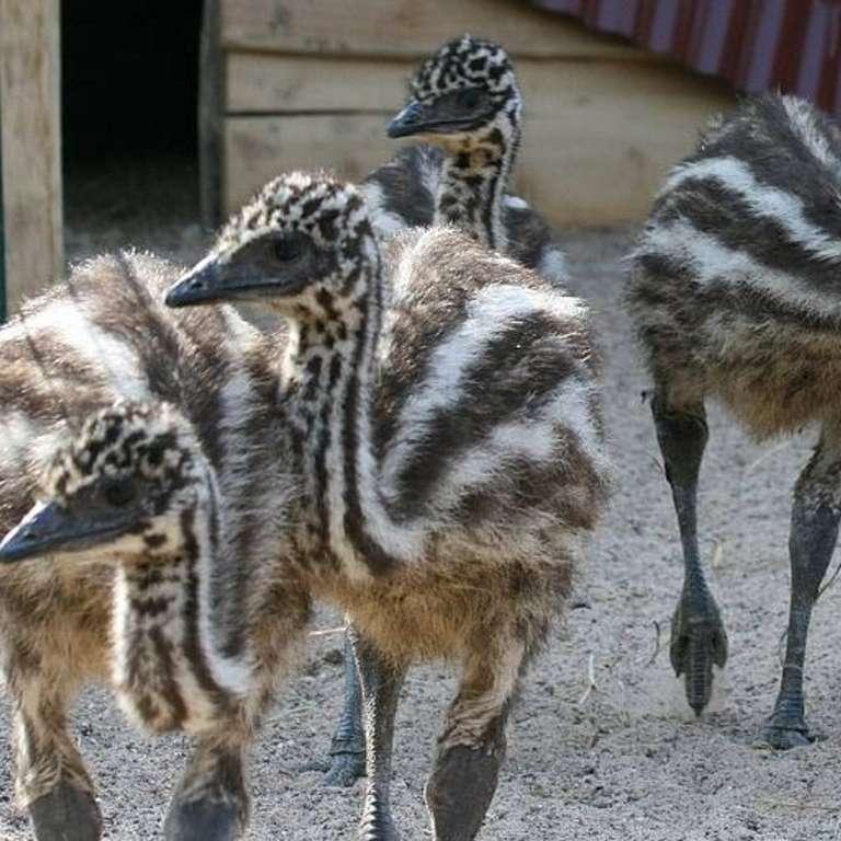 Kindergarten-Ausflug - Unsere jungen Emus erkunden in kleinen, aber schon sehr schnellen Schritten unser Australiengelände. - Unsere jungen Emus erkunden in kleinen, aber schon sehr schnellen Schritten das Australiengelände.