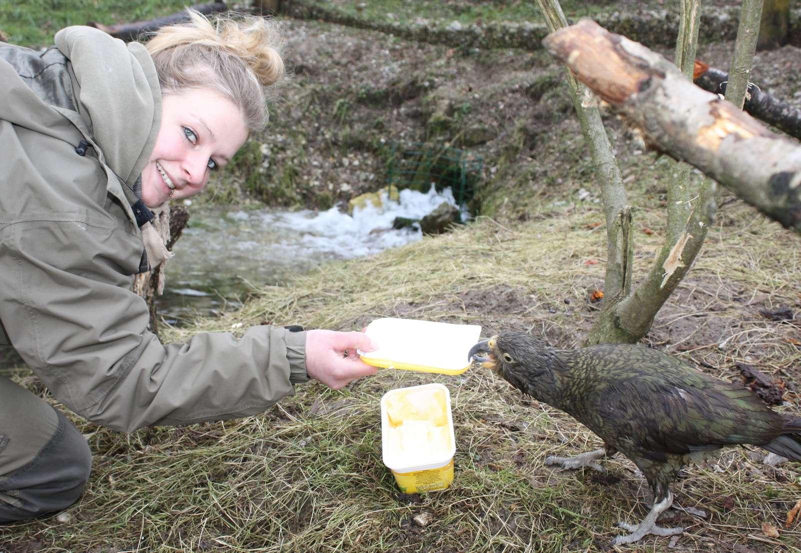 Wir starten in die Saison 2015! - Bert kämpft mit Tierpflegerin Kristine Böhm um einen Margarinedeckel- für Keas ist Fett äußerst wichtig. - Ab dem 14. März öffnet der Vogelpark Heiligenkirchen wieder seine Tore für die Saison 2015