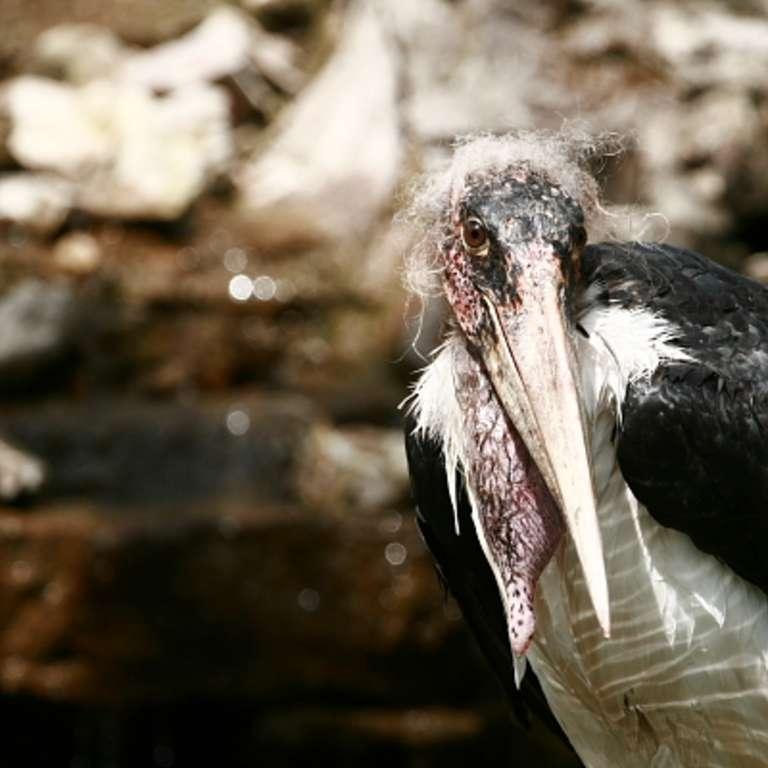 Ein neuer Marabu - Marabu - Wir freuen uns ab August einen neuen Bewohner im Vogelpark begrüßen zu dürfen. Es ist ein junger, aber ausgewachsener Marabu, der aus dem Kölner Zoo zu uns in den Vogelpark gekommen ist.