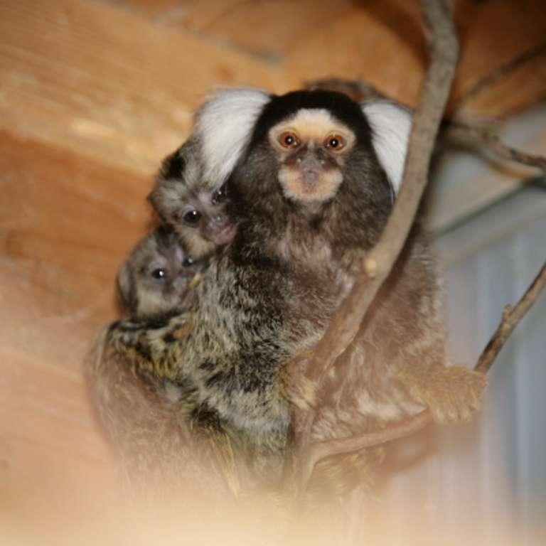 Winterkinder - Nachwuschs bei den Weißbüscheläffchen Zwillinge bei den Weißbüscheläffchen - Unsere Weißbüschelaffen haben Nachwuchs bekommen! Wie bei dieser Art üblich sind es Zwillinge.
